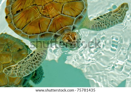 Endangered sea turtle rising to breathe in Cozumel Mexico. - stock photo