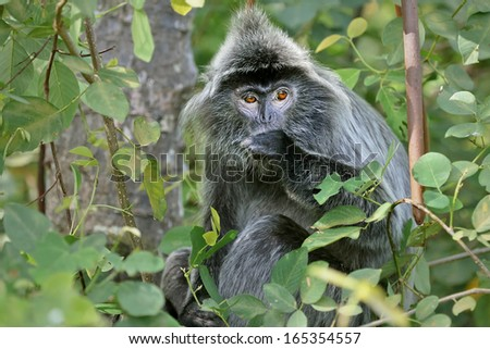 Endangered Silver Leaf Monkey or Silvery Lutung (Trachypithecus cristatus) eating in a tree in the jungles of Borneo. AKA Silvered Leaf or Silvery Langur. This is mangrove forest in coastal Malaysia. - stock photo