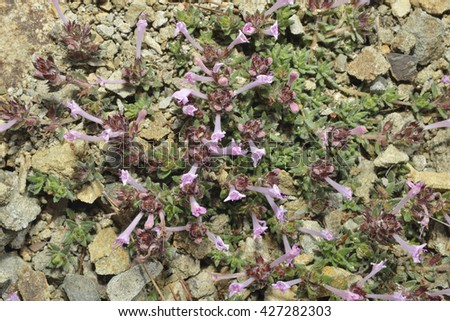 Endemic Cyprus Tyne - Thymus integerWild Herb - stock photo