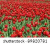 Endless field of red tulips - stock photo