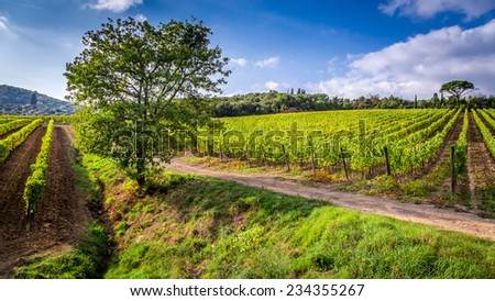 Endless fields of vines in Tuscany - stock photo