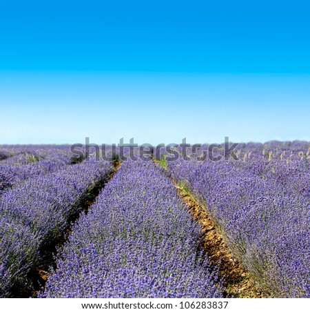 Endless rows of scented flowers in the lavender fields of the Veliki Preslav region in Bulgaria - stock photo
