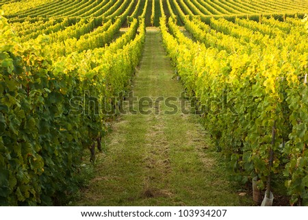Endless vines in a row growing in the Alsace region of France - stock photo