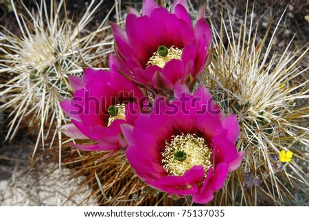 Englemann's Hedgehog Cactus Blooms - stock photo