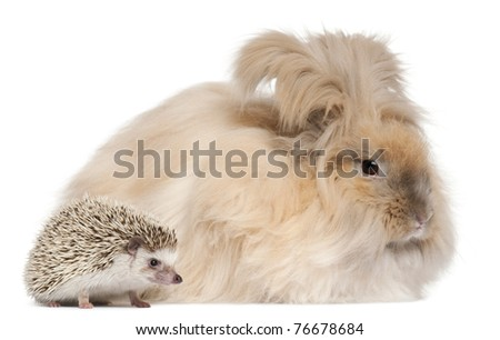 English Angora rabbit and a Four-toed Hedgehog, Atelerix albiventris, in front of white background - stock photo