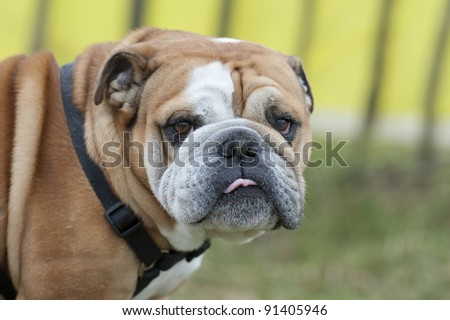 English Bull Dog - stock photo