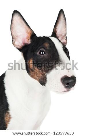 english bull terrier puppy portrait - stock photo
