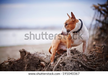 English bull terrier. Thoroughbred dog. Canine friend. Red dog