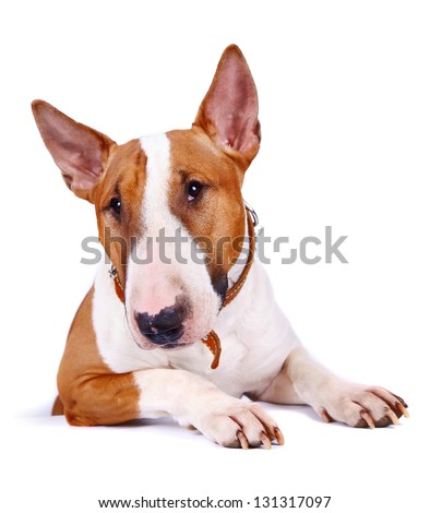 English bull terrier. Thoroughbred dog. Canine friend. Red dog. Portrait of a dog. - stock photo