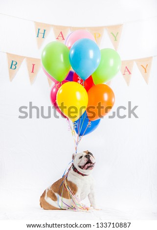 English Bulldog and Balloons on white background - stock photo