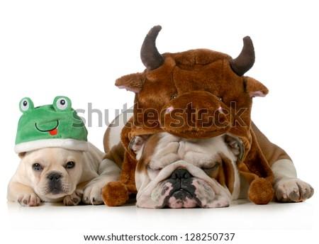 english bulldog and french bulldog dressed up like bull and frog isolated on white background - stock photo