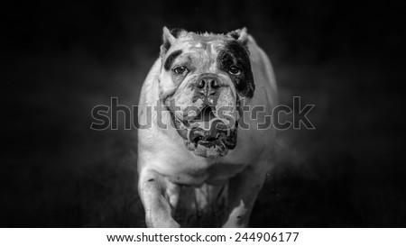 English bulldog black and white portrait - stock photo
