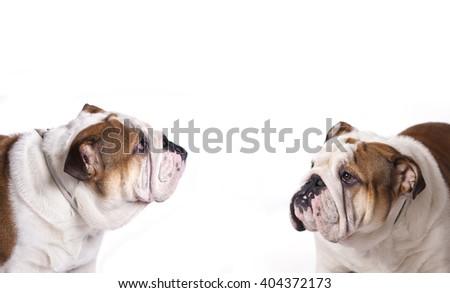 English bulldog, close-up portrait - stock photo