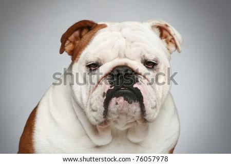 English bulldog. Close-up portrait on grey background - stock photo