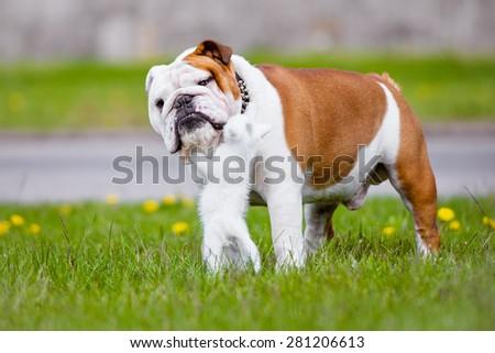 english bulldog dog and white kitten - stock photo