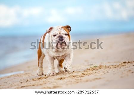 english bulldog dog walking on a beach - stock photo