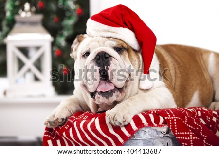 english bulldog in  santa claus hat - stock photo