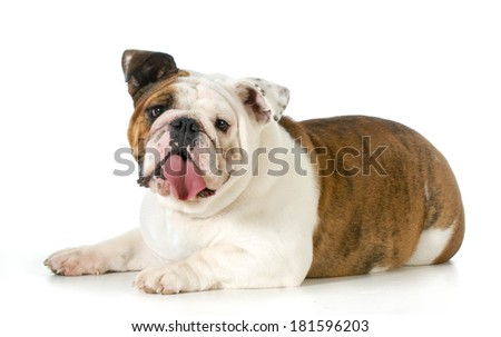 english bulldog laying down looking at viewer isolated on white background - stock photo