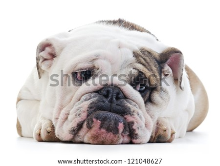 English Bulldog laying over white background, shy looking off camera - stock photo