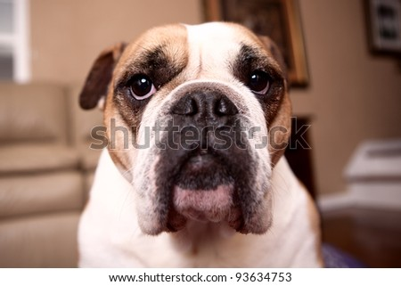 English Bulldog looking at the camera - stock photo