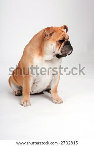 English bulldog looking away from the camera - stock photo