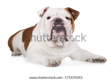 English bulldog lying down - stock photo