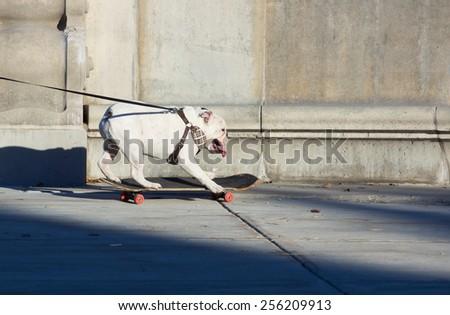 English bulldog on a leash ride on Skateboard - stock photo
