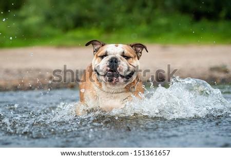 English bulldog on the beach - stock photo