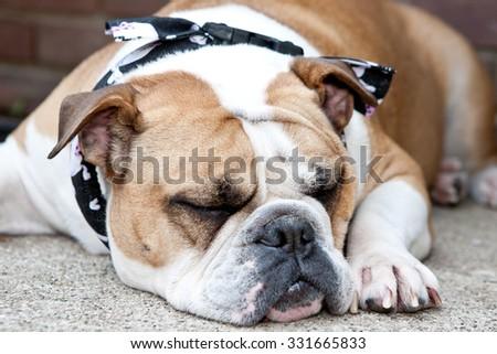 English Bulldog on the ground outside sleeping - stock photo