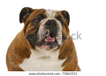 english bulldog panting on white background - stock photo