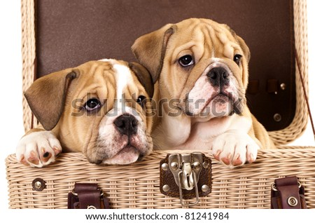 english Bulldog puppies in basket - stock photo
