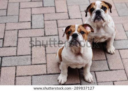 english bulldog puppies pavers copyspace - stock photo