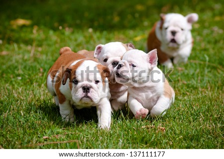english bulldog puppies playing outdoors - stock photo