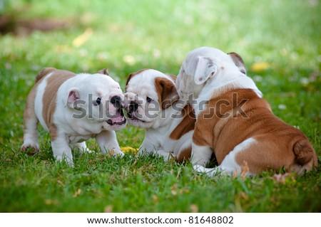 English bulldog puppies playing together - stock photo