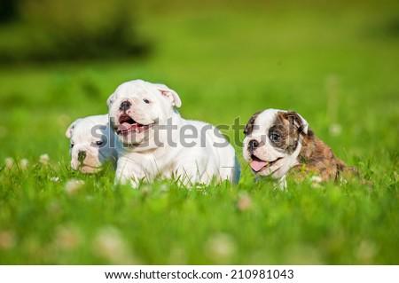 English bulldog puppies running  - stock photo
