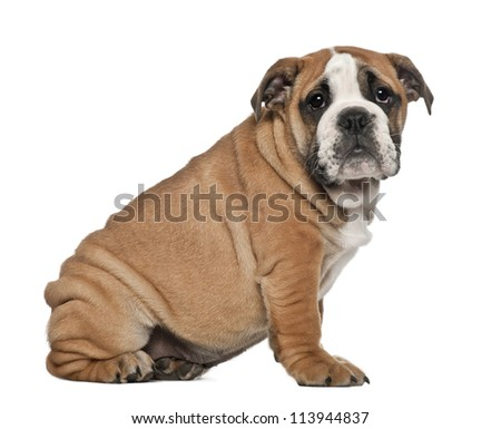 English Bulldog puppy, 2 and a half months old, sitting against white background - stock photo