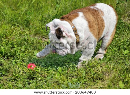English bulldog puppy in a brown collar sticking out his tongue and playing with a red ball on the green lawn of the park - stock photo