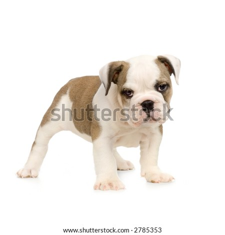 english Bulldog puppy in front of white background and looking at the camera - stock photo