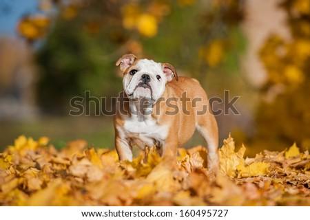 English bulldog puppy  in the park in autumn - stock photo
