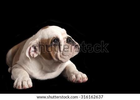 English bulldog puppy isolated on black background. - stock photo
