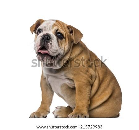 English Bulldog puppy (4 months old) - stock photo