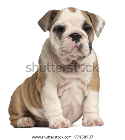 English Bulldog puppy, 2 months old - stock photo