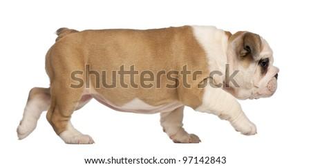 English Bulldog puppy, 2 months old - stock photo
