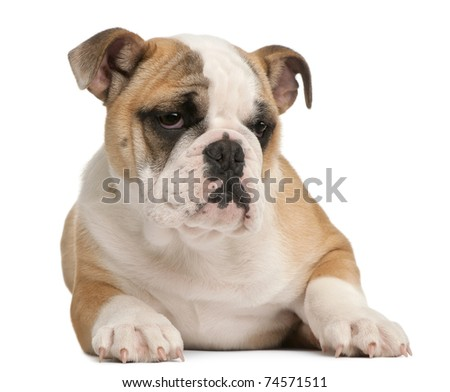 English bulldog puppy, 4 months old, lying in front of white background - stock photo