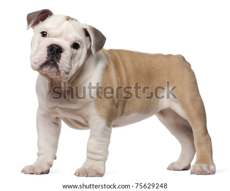 English bulldog puppy, 2 months old, standing in front of white background - stock photo