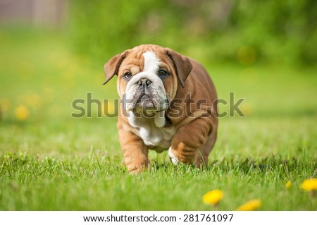 English bulldog puppy on the walk - stock photo