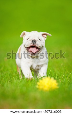 English bulldog puppy playing with a ball - stock photo