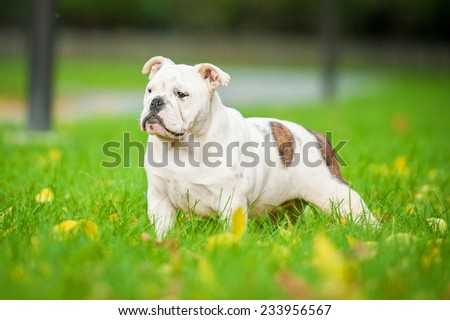 English bulldog puppy standing in the park  - stock photo