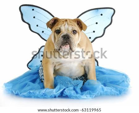 english bulldog puppy wearing blue angel costume with reflection on white background - stock photo