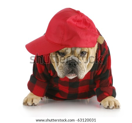 english bulldog puppy wearing plaid shirt and trucker hat with reflection on white background - stock photo